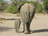 Éléphante et son éléphanteau, parc national Chobe (Botswana)