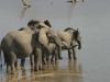 Éléphants buvant dans le fleuve Luangwa, parc national Luangwa (Zambie) © ae