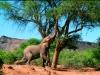 Éléphants mâles se nourrissant de feuilles d'acacias, Koakoland, désert du Namib (Namibie)