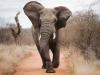 Charge simulée par un éléphant, parc national Chobe (Botswana)
