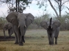Famille d'éléphants dans le delta de l'Okavango (Botswana) © ae