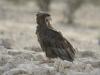 batleur eagle batleur eagle juv kalahari-transfrontier park south africa