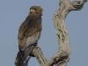 batleur eagle dsc7381
