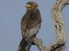 batleur eagle dsc7389