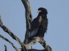 batleur eagle dsc8143