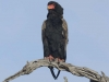 batleur eagle dsc8151