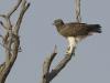 aigle-martial-aigle-martial-Okavango-Delta-Botswana-Photo-A-Et-M-Allemande