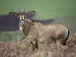 Jeune antilope chevaline dans les montagnes du Malawi, parc national Nyika © Dana Allen