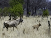 Antilope chevaline femelle et son petit, parc national Hwange (Zimbabwe) © Dana Allen