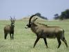 Antilope chevaline mâle observé par une femelle, plaines Busanga, parc national Kafue (Zambie) © Dana Allen