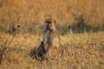 Jeune babouin mâle, parc national Hwange (Zimbabwe) © ae