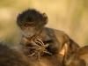 Jeune babouin Chacma tenant des racines (Afrique du Sud)