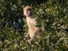 Babouin femelle se nourrissant, parc national Luangwa (Zambie) © ae