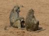 Babouins femelles avec un petit, parc national Hwange (Zimbabwe) © A. et M. Allemand