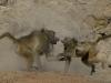 Combat entre babouins mâles, parc national Hwange (Zimbabwe) © A. et M. Allemand