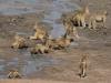 Groupe de babouins en train de boire près du barrage Masuma, parc national Hwange (Zimbabwe) © A. et M. Allemand