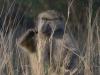 Jeune babouin qui se gratte, parc national Kruger (Afrique du Sud) © A. et M. Allemand