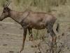 jeune male bubale rouge parc kruger afrique du sud