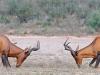 red-hartebeest-debut-combat-males