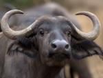 Jeune buffle femelle, parc Kruger (Afrique du Sud)