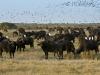 Un troupeau de buffles, delta de l'Okavango (Botswana) © M. Meyer