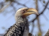 yellow billed hornbill dsc5610