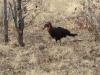 ground hornbill dsc6736