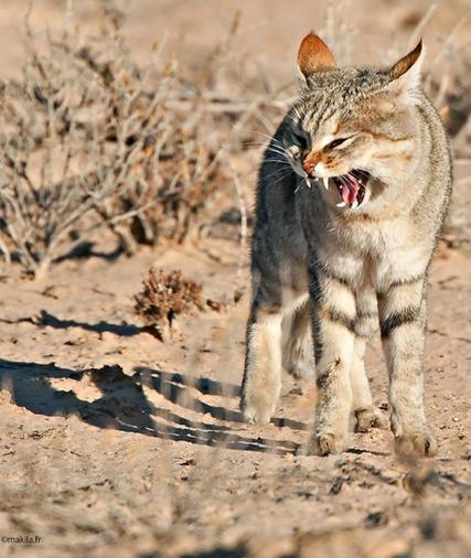 chat sauvage afrique