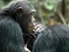 Chimpanzés adultes qui s'épouillent, montagnes Mahale (Tanzanie)