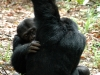 Chimpanzés qui s'épouillent, montagnes Mahale (Tanzanie)