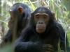 Chimpanzés, montagnes Mahale (Tanzanie)