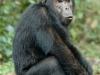 Jeune chimpanzé mâle, montagnes Mahale (Tanzanie)