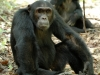 Jeune chimpanzé mâle qui se repose, montagnes Mahale (Tanzanie)