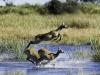 Cobe de Lechwe femelles fuyant à travers l'eau, delta de l'Okavango (Botswana) © Dana Allen