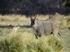 Eland mâle à Ruckomechi, près du fleuze Zambèze (Zimbabwe) © Dana Allen