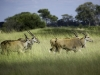Femelles élands, parc national Hwange (Zimbabwe) © Dana Allen