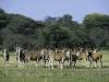 Troupeau d'élands, parc national Hwange (Zimbabwe) © Dana Allen