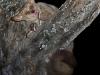 galago-avec-petit-serpent