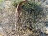 gerenuk-femell-feeding-samburu-kenya-photo-g-et-a-frejaville