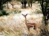 gerenuk-femelle-en-garde-sambru-kenya-photo-g-et-a-frejaville