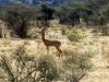 gerenuk-samburu-tanzanie-photo-g-et-a-frejaville