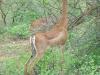 kenya-gazelle-girafe