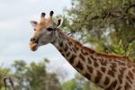 Girafe femelle, parc national Hwange (Zimbabwe)