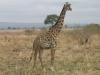 Girafe femelle dans la réserve Selous Game (Tanzanie) © ae