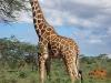 Girafe réticulée, Samburu (Kenya)