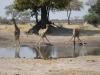 Girafes buvant à un point d'eau, parc national Hwange (Zimbabwe) © ae