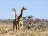 Girafes dans la réserve d'Ongava, parc national d'Etosha (Namibie)