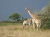 Girafes de Thornicroft, parc national Luangwa (Zambie) © ae