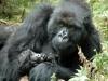 Gorille femelle et son bébé, parc national Bwindi (Ouganda)