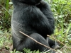 Gorille mâle au dos argenté, parc national Bwindi (Ouganda)